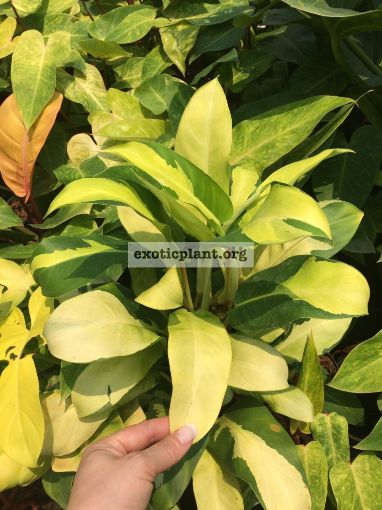 Philodendron Green and Gold