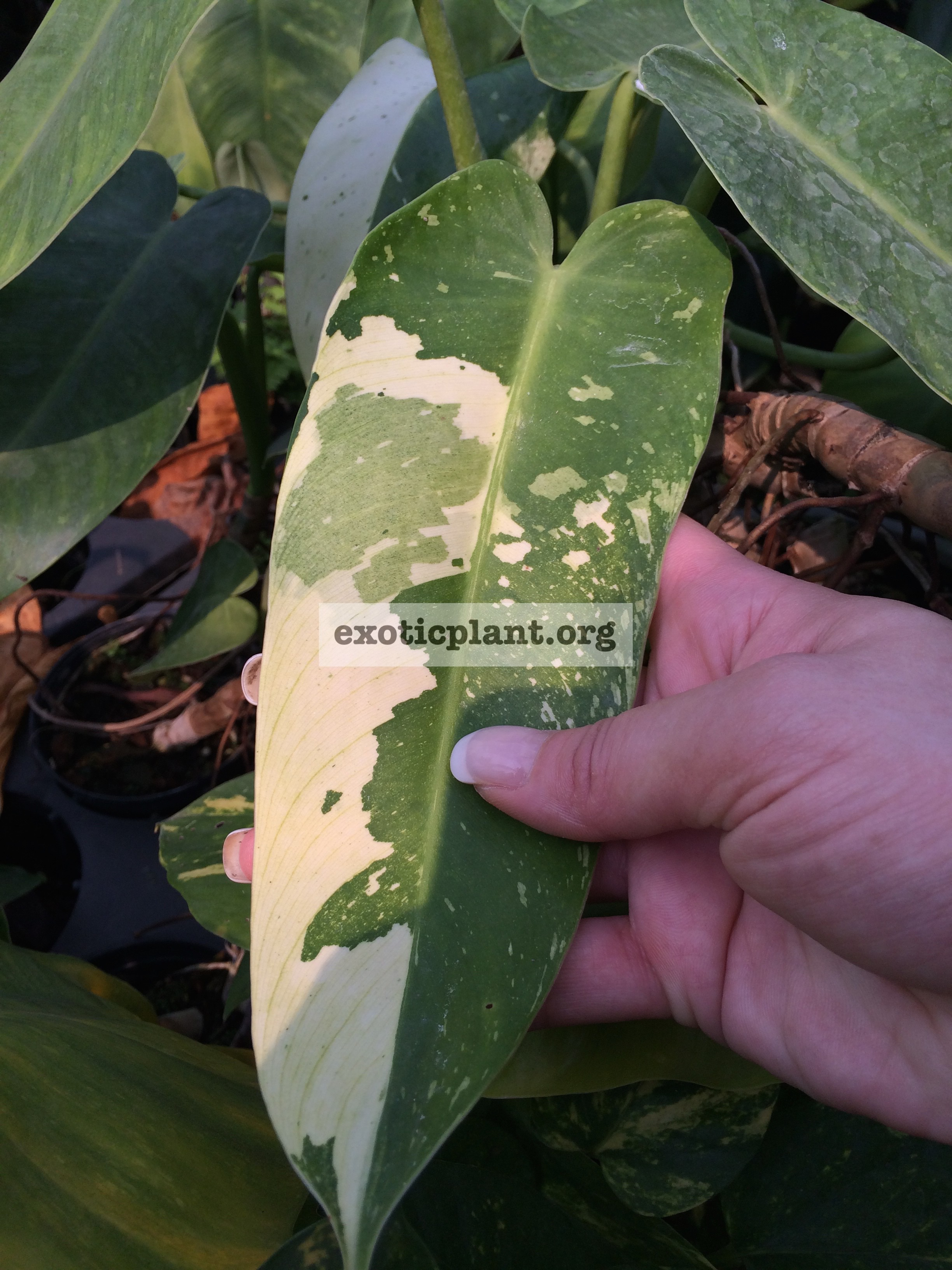 Philodendron imbe White Marble 20-35