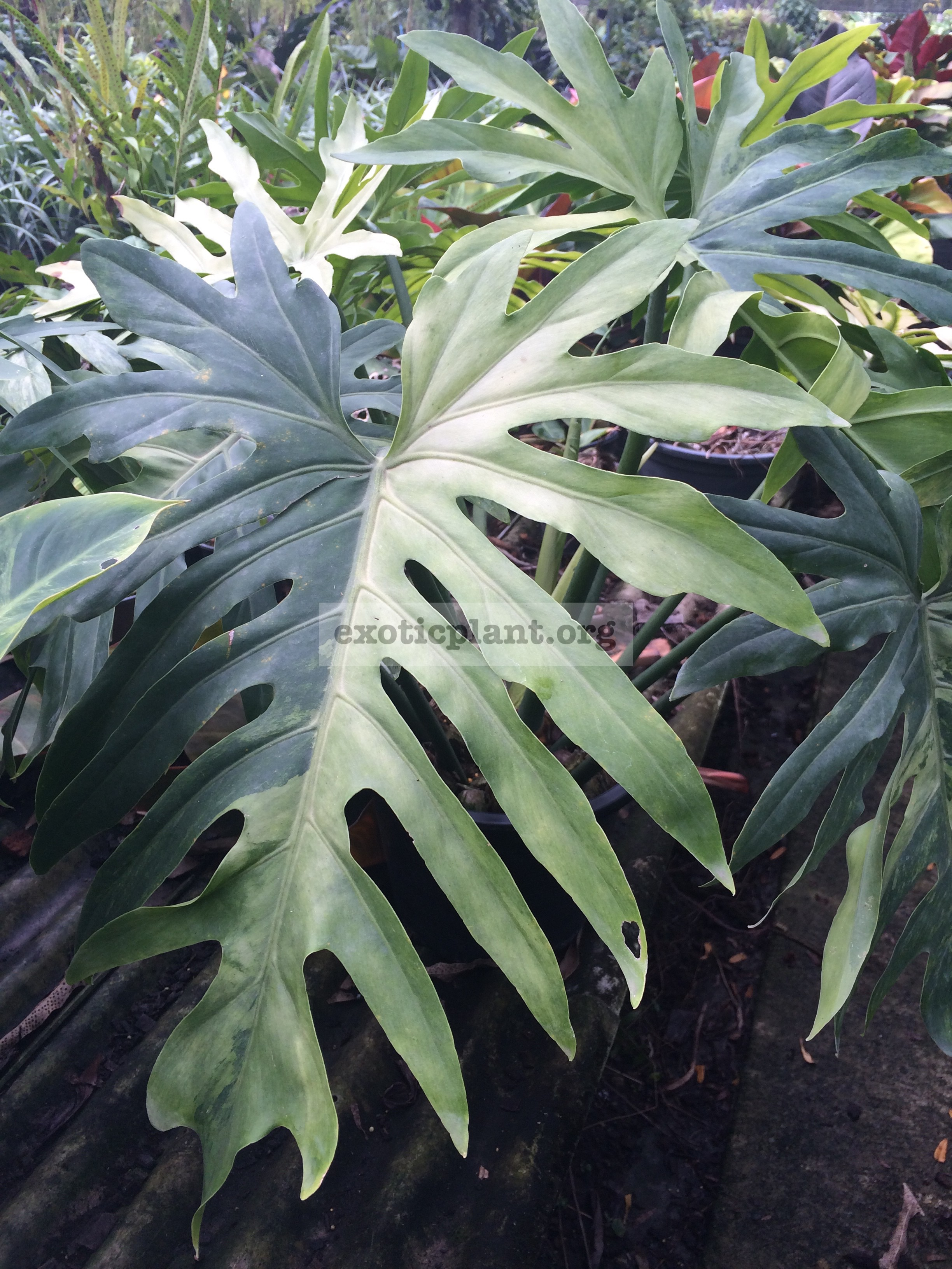 Philodendron sp.(T31) variegated 175