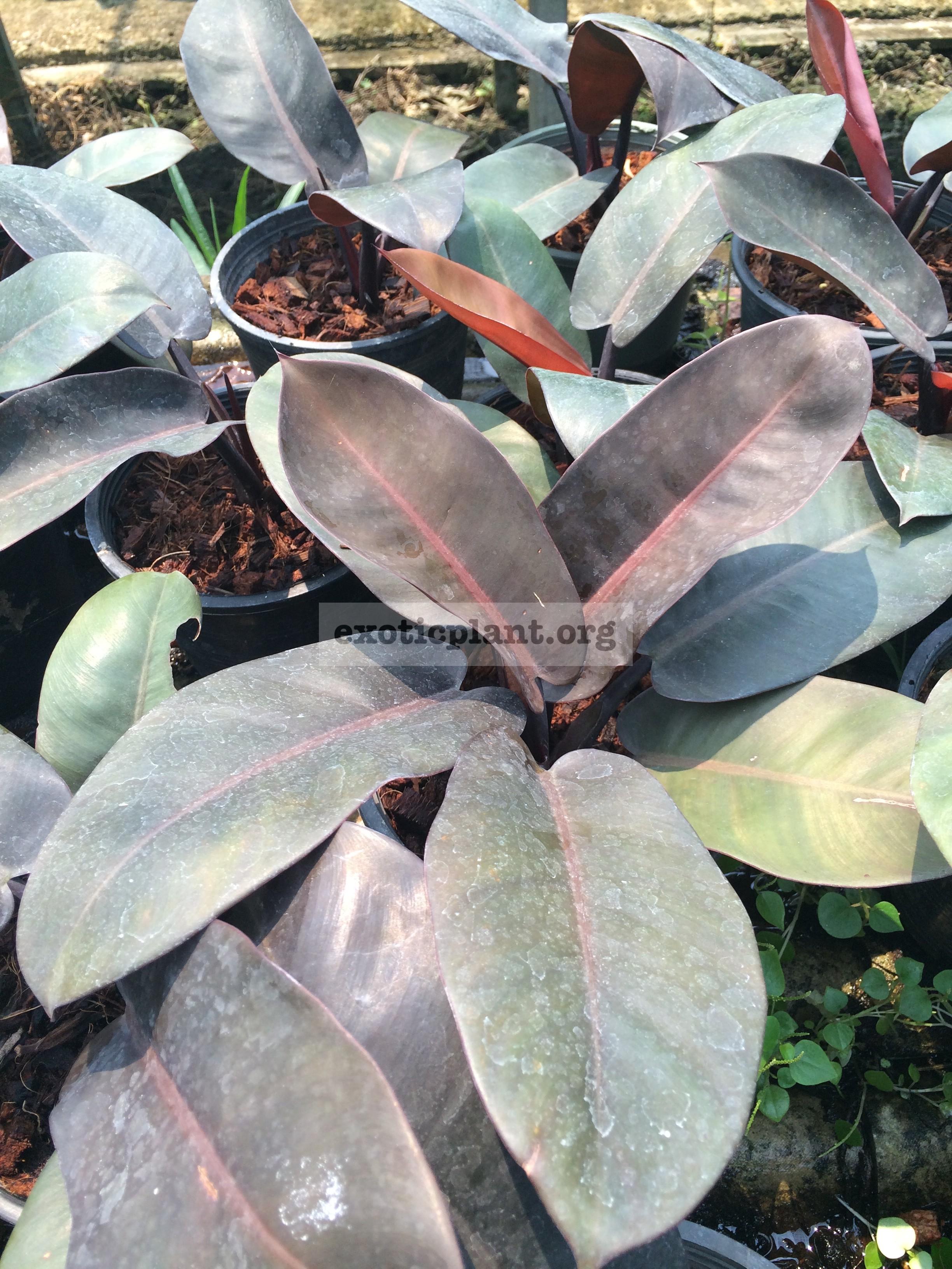 Philodendron Black Cardinal 14-25