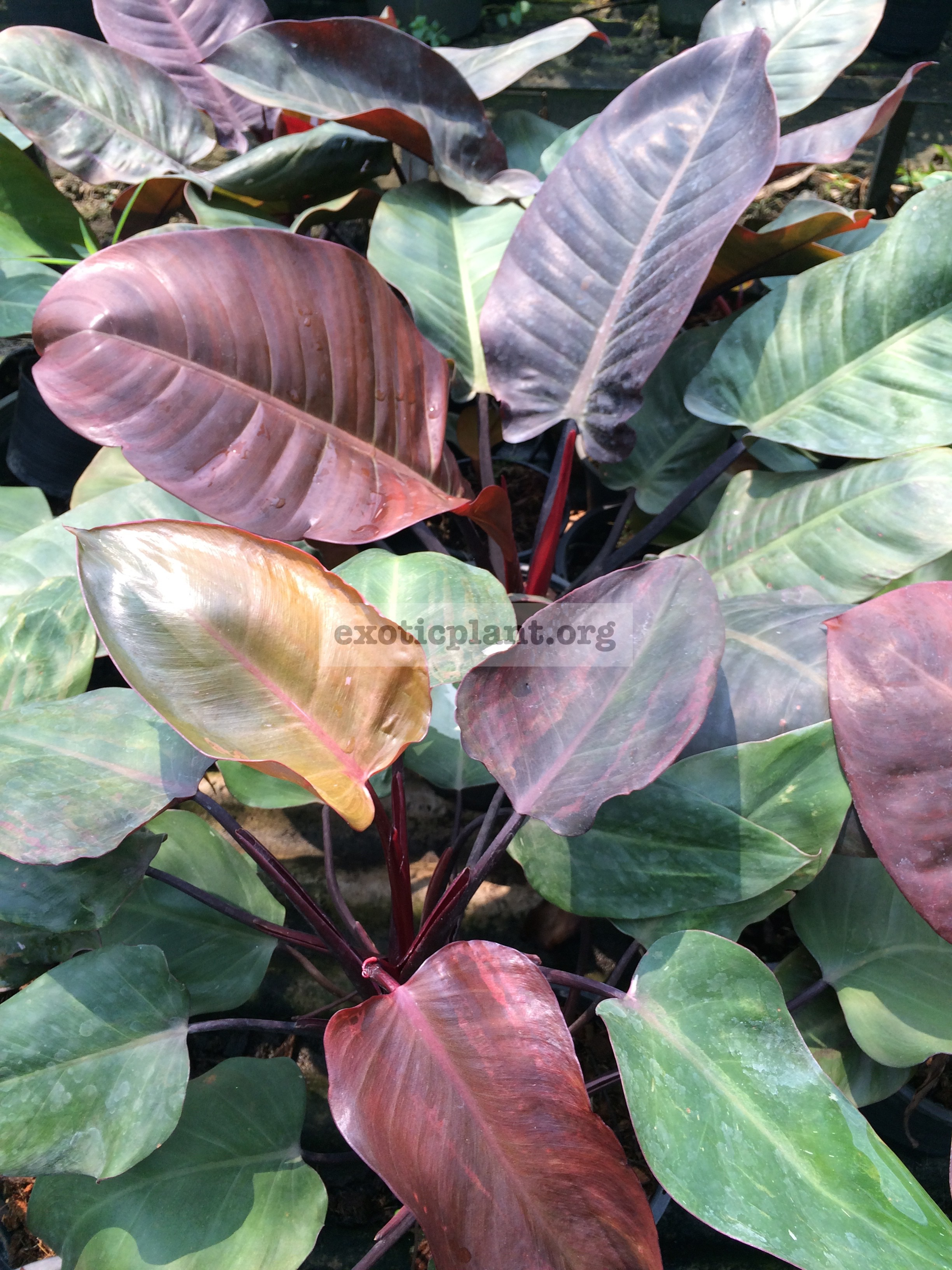 philodendron Black Cardinal Top Red 14-25