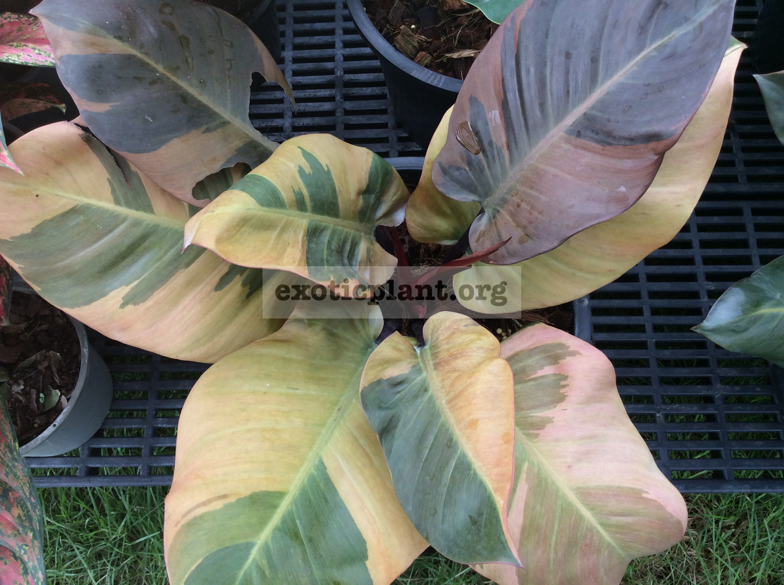 philodendron Black Cardinal (№6) variegated 200-300