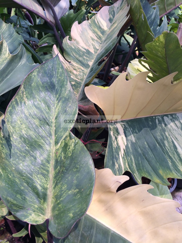 philodendron Caramel Marble