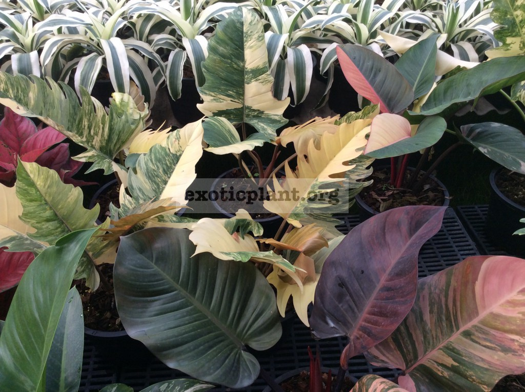 philodendron Caramel Marble & philodendron Congo Red variegated & philodendron Black Cardinal variegated