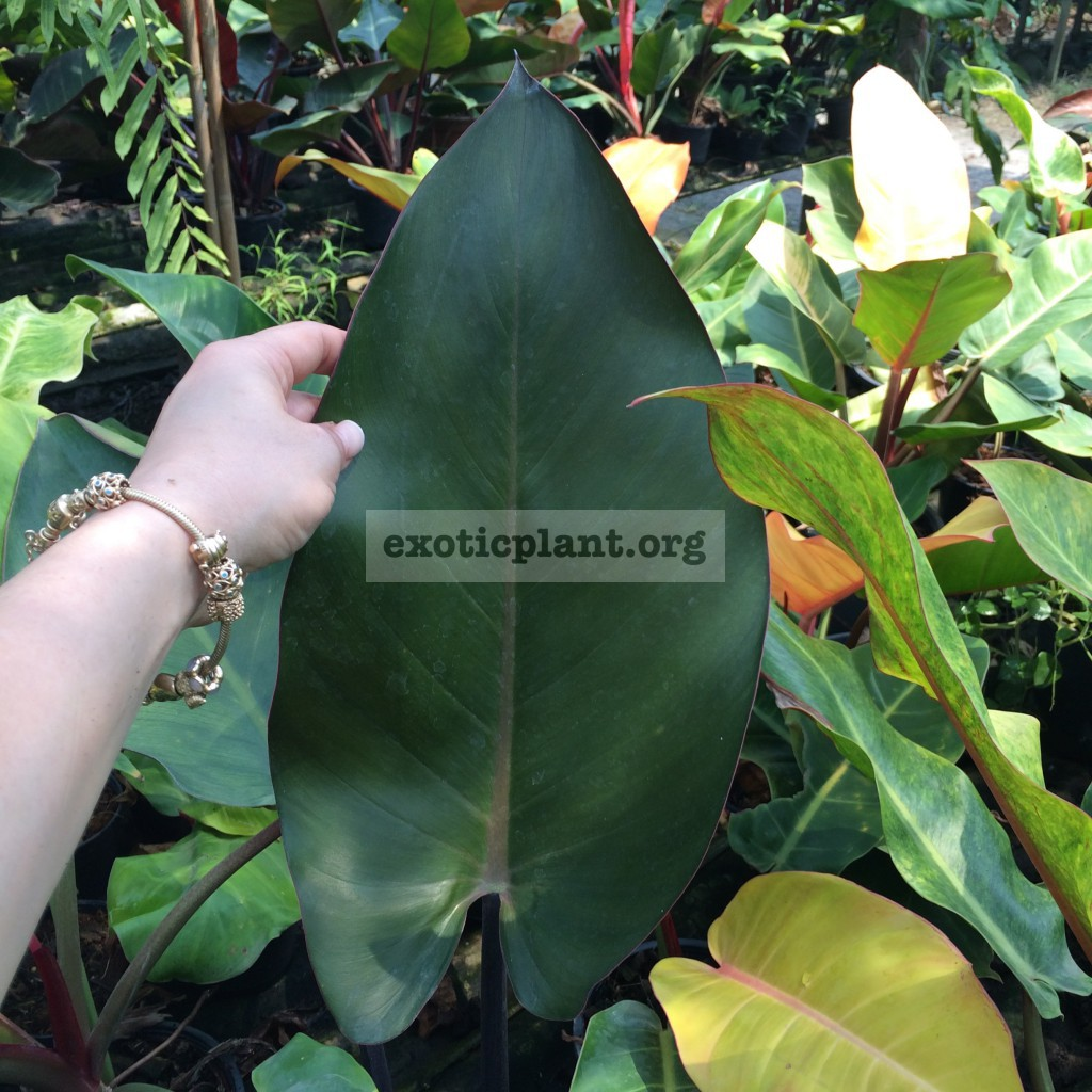 philodendron Chang Mai Red