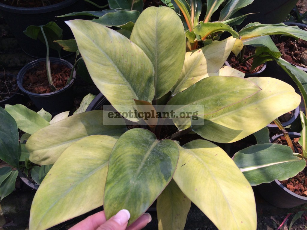 philodendron Congo Red Yellow Mutation