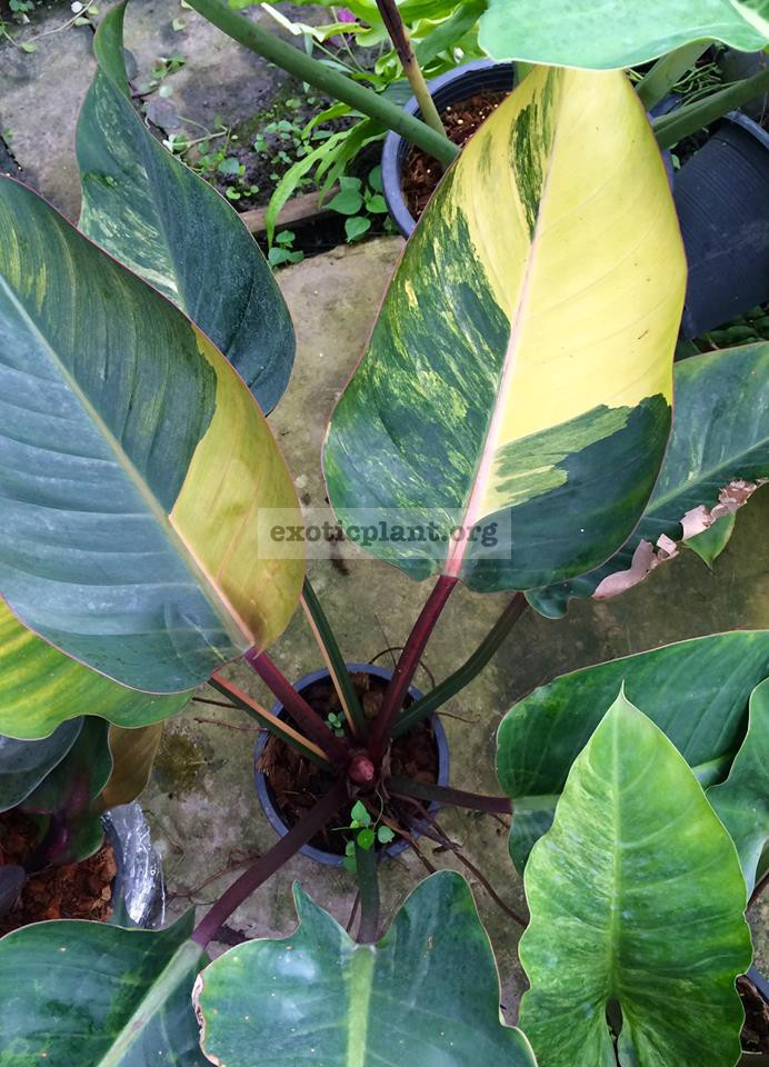 philodendron Congo Red yellow variegated 300