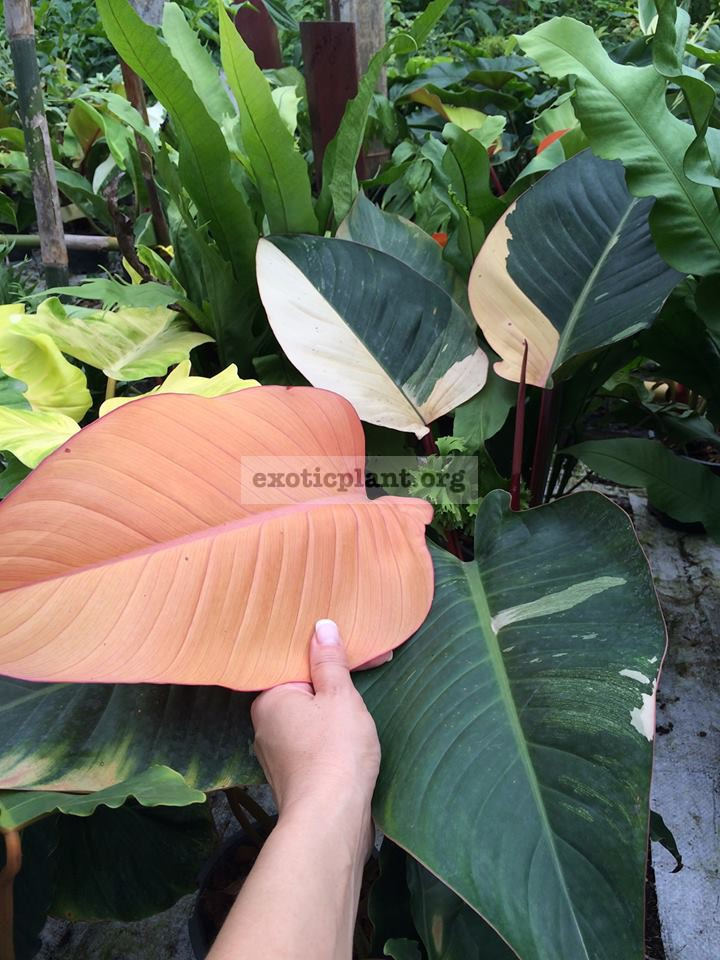 philodendron Congo Red variegated