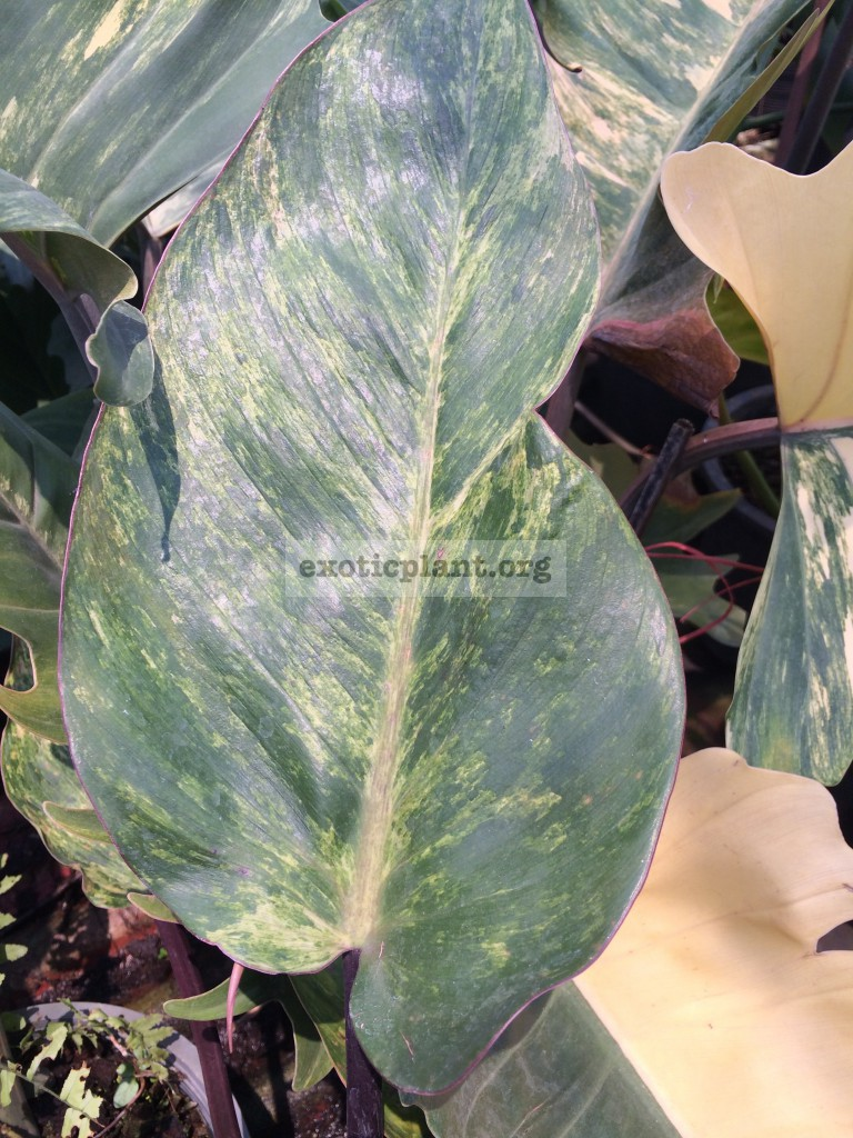 philodendron Congo Red variegated mutation