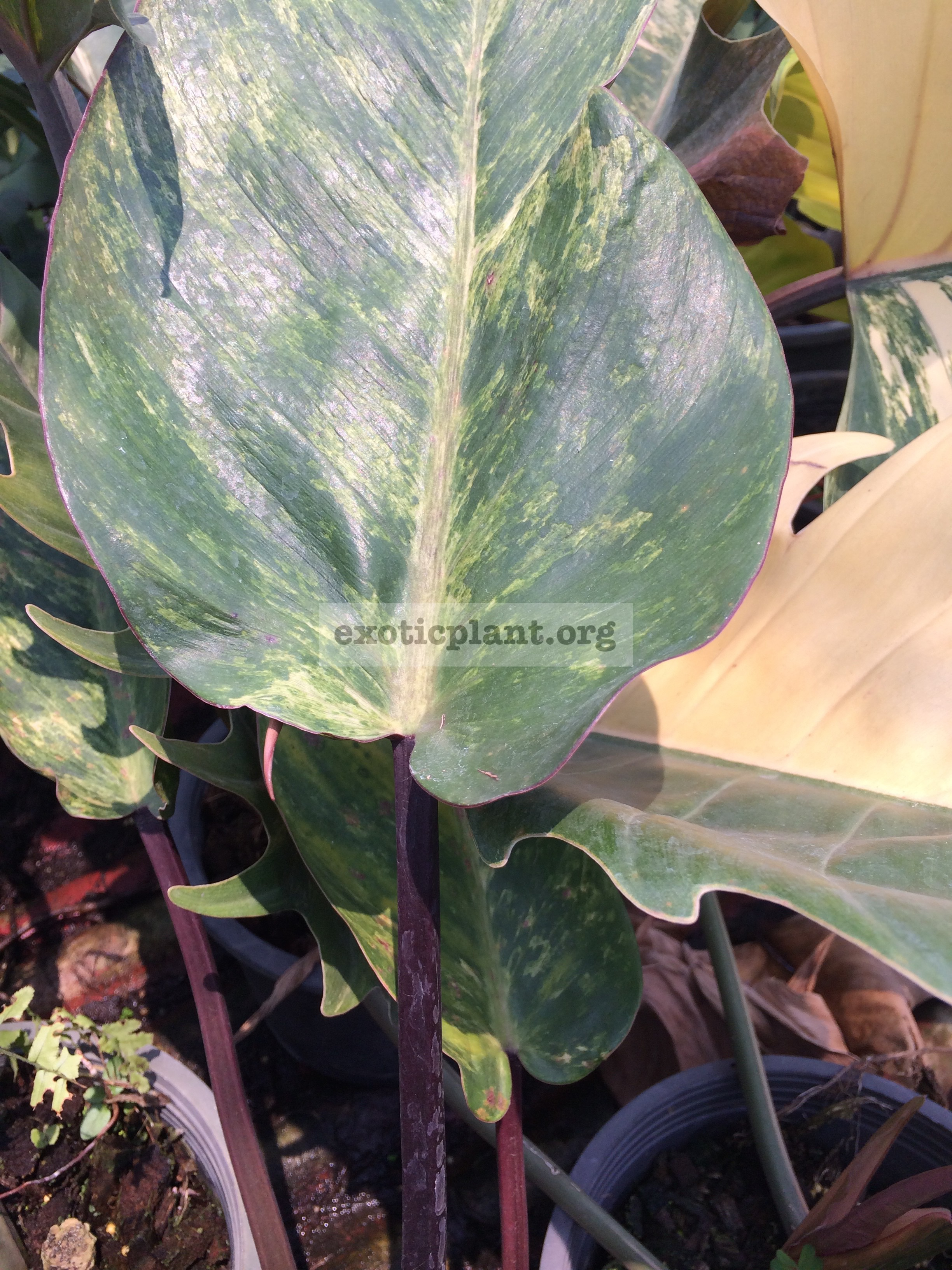 philodendron Congo Red variegated mutation 75