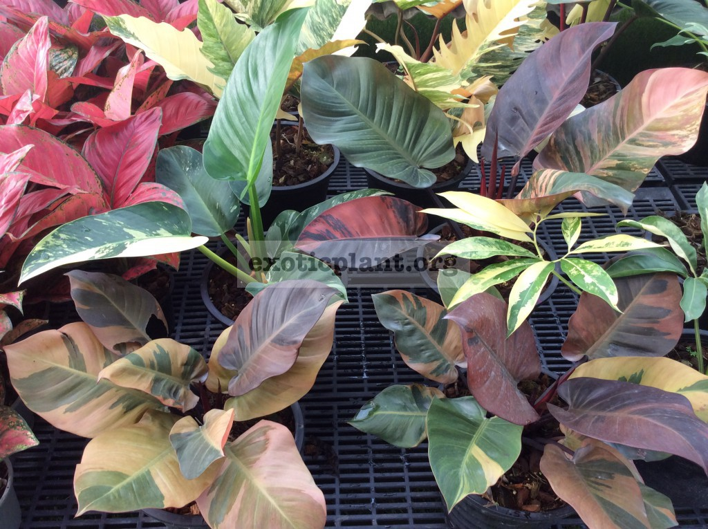 philodendron Congo Red variegated & philodendron Black Cardinal variegated