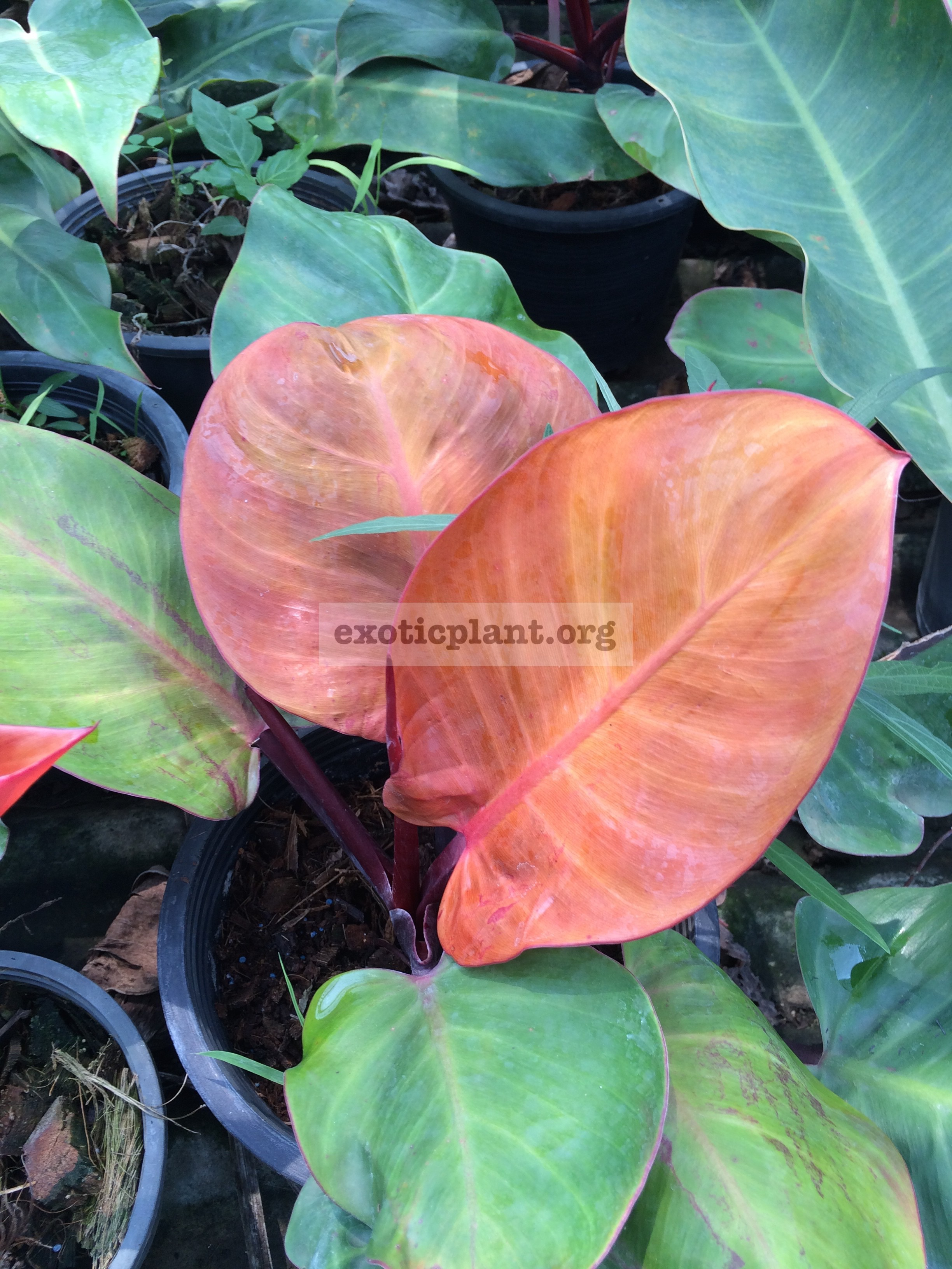 Philodendron Dang Ampon 24