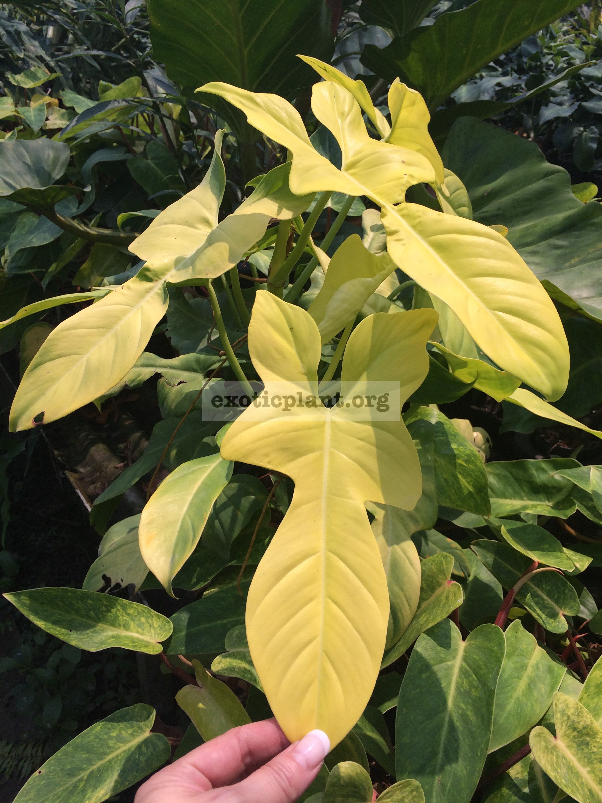 Philodendron GoldenVioline 25-50
