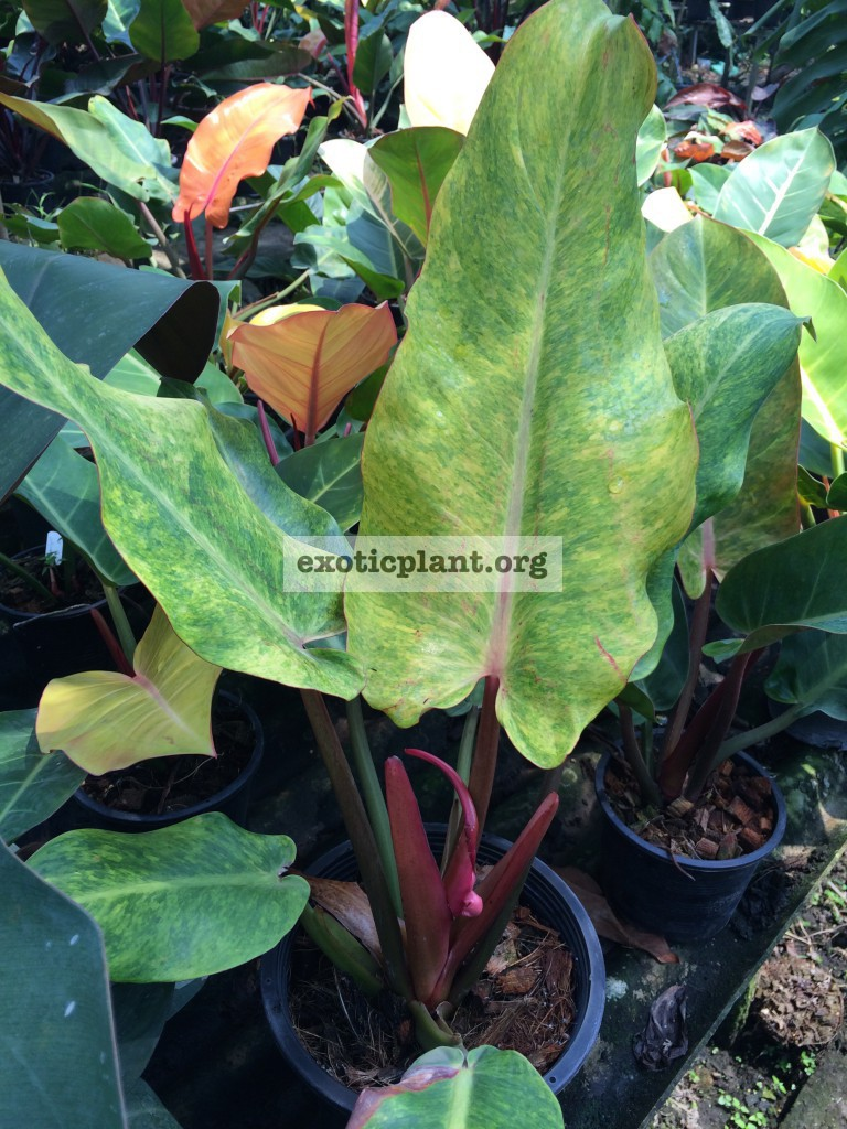 philodendron Mone