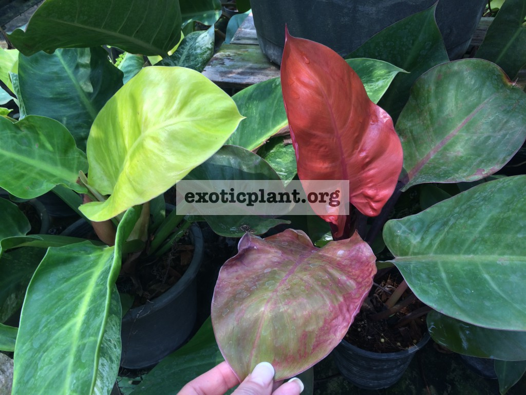 philodendron Moonlight & philodendron Dang Ampon