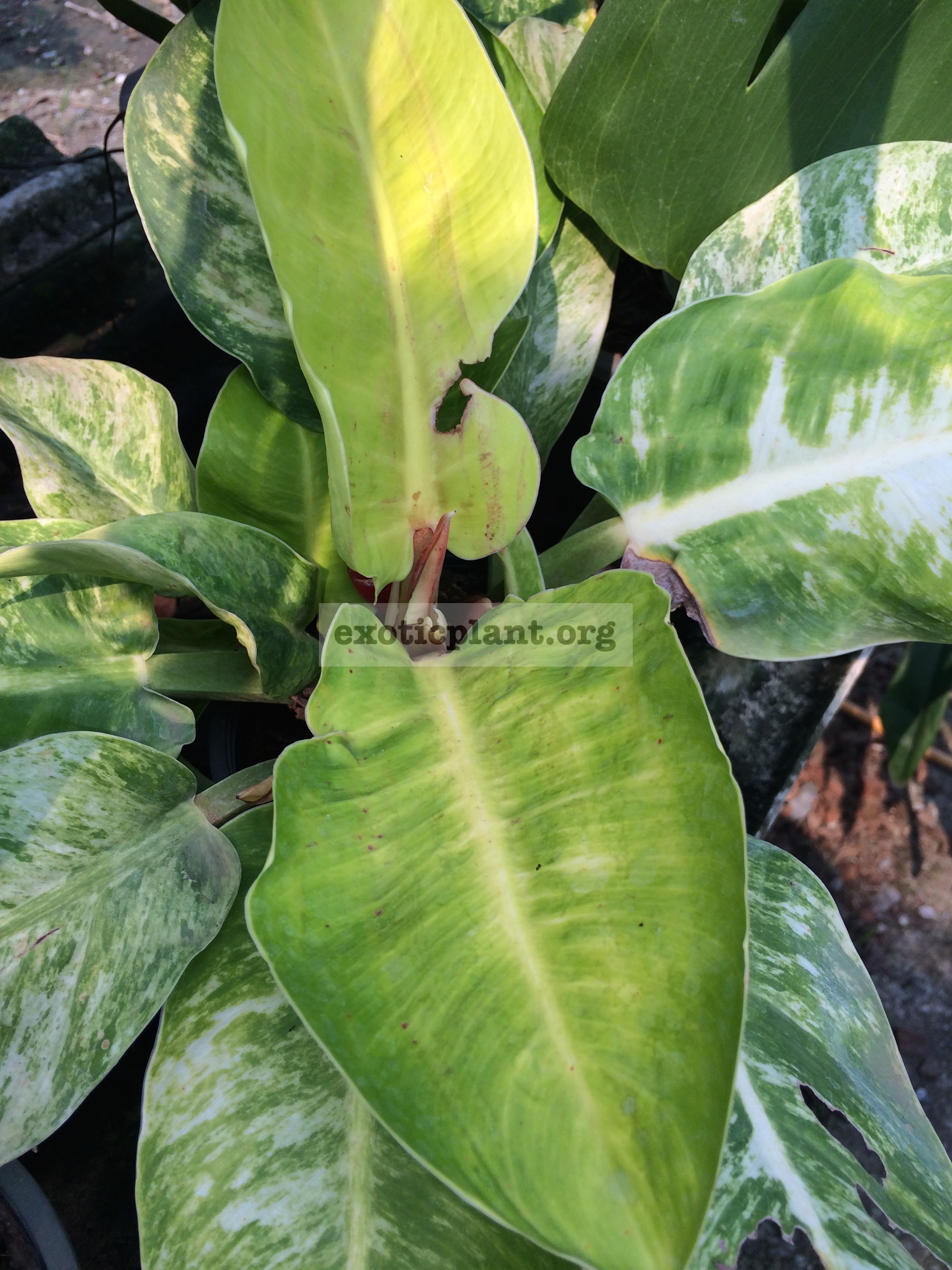 philodendron Moonlight variegated 50