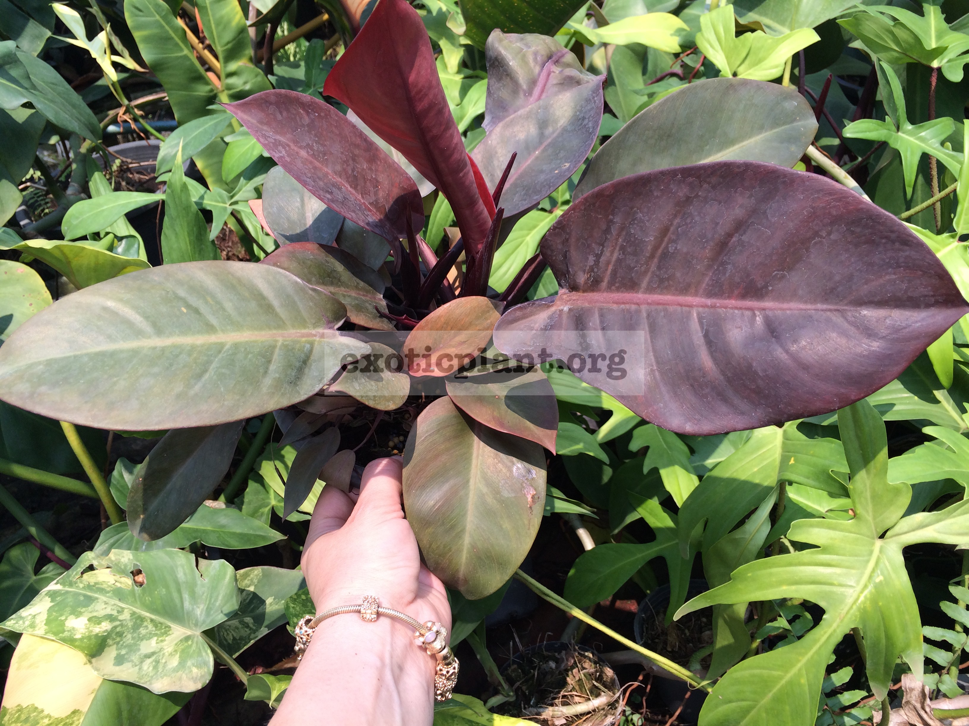 philodendron Noname (Purple Leaves) 14-20