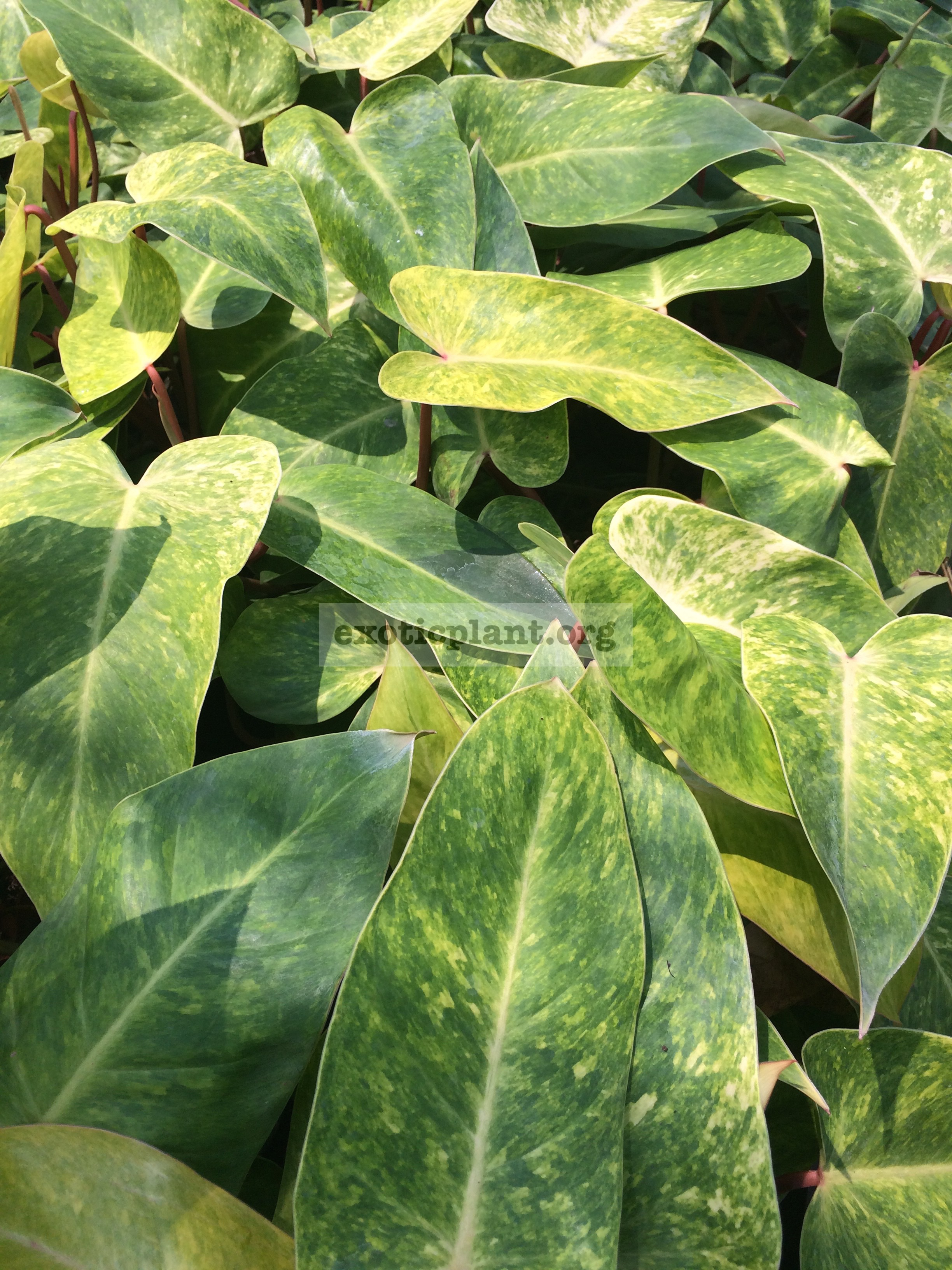philodendron Painted Lady 20-30