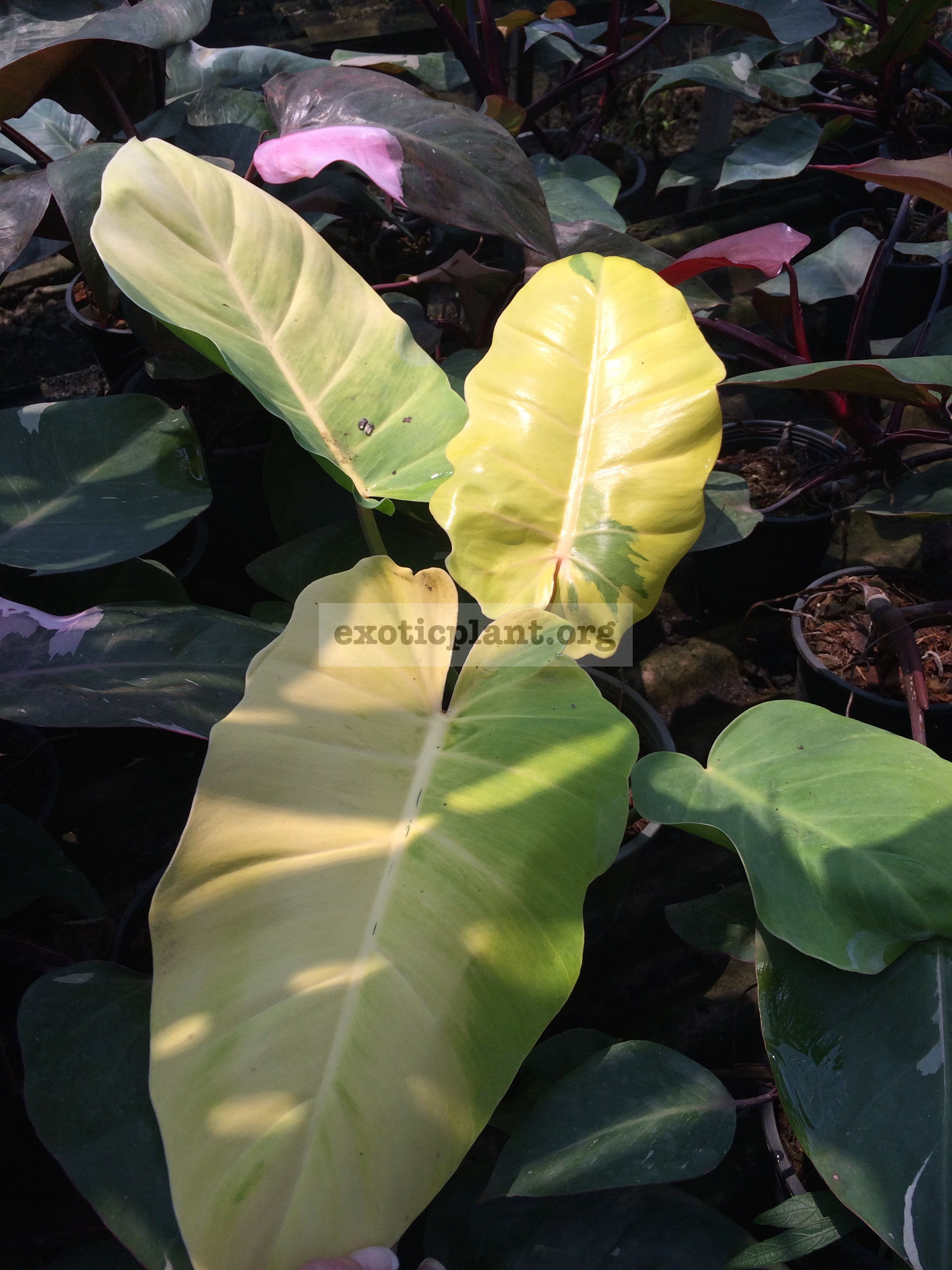 philodendron Pin Thong 45-60