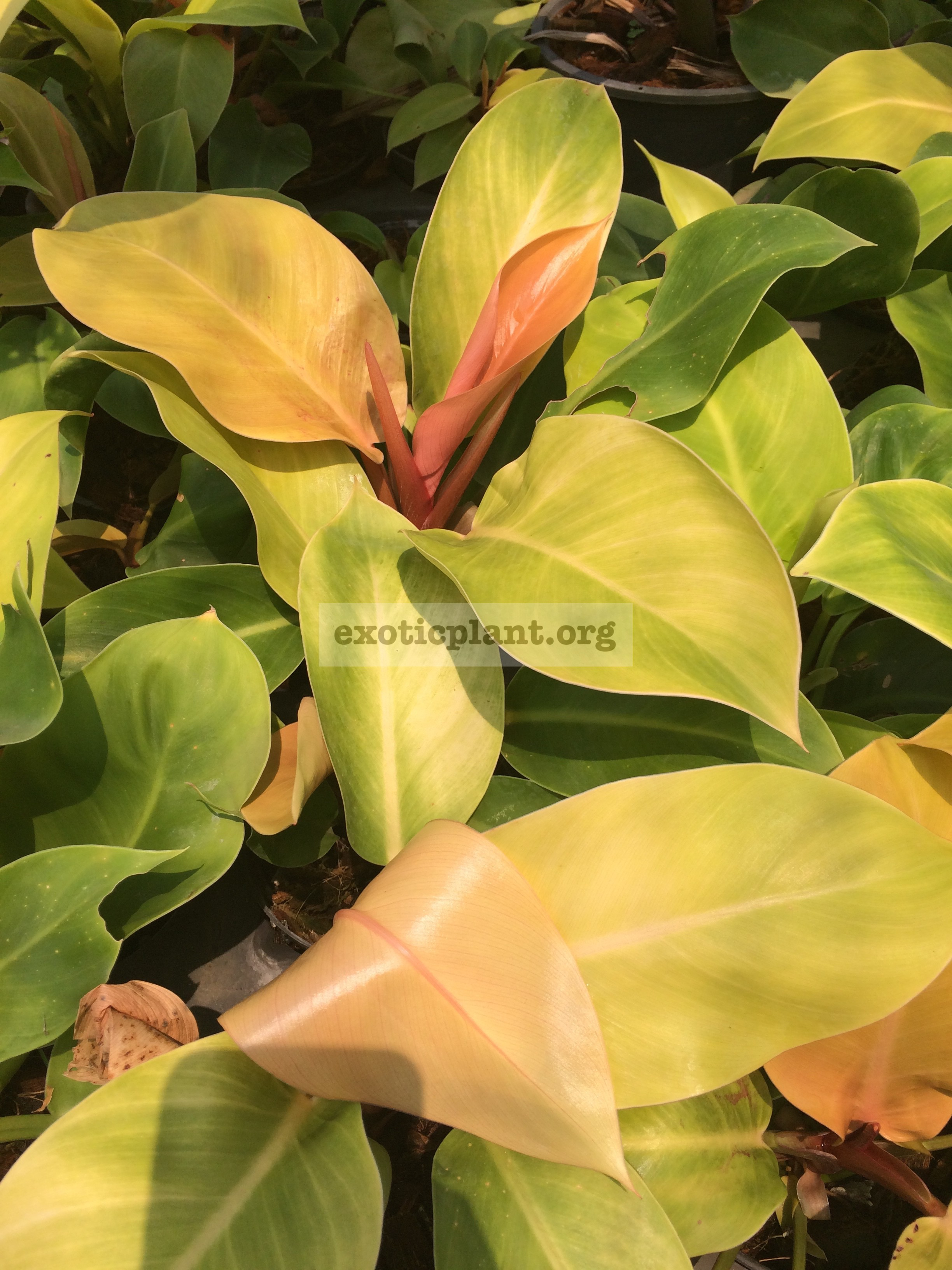 Philodendron Sunlight compact 20