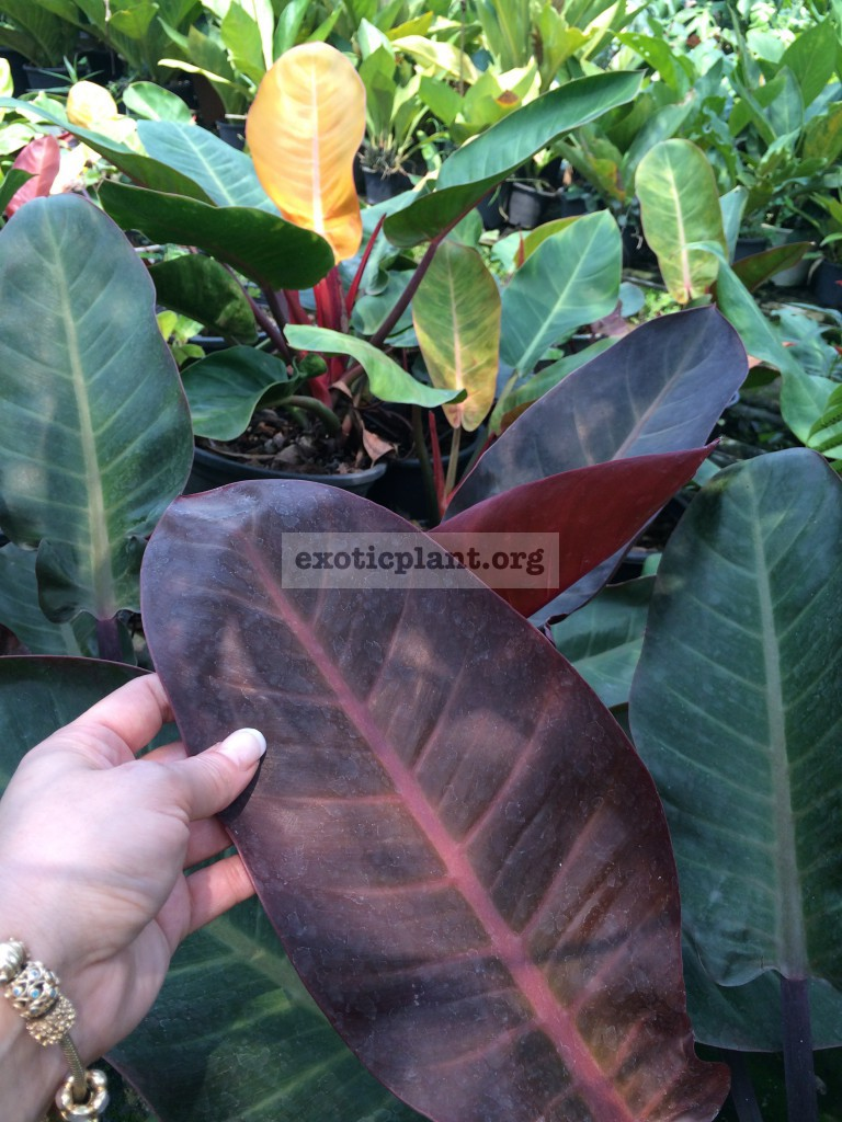 philodendron Super Red