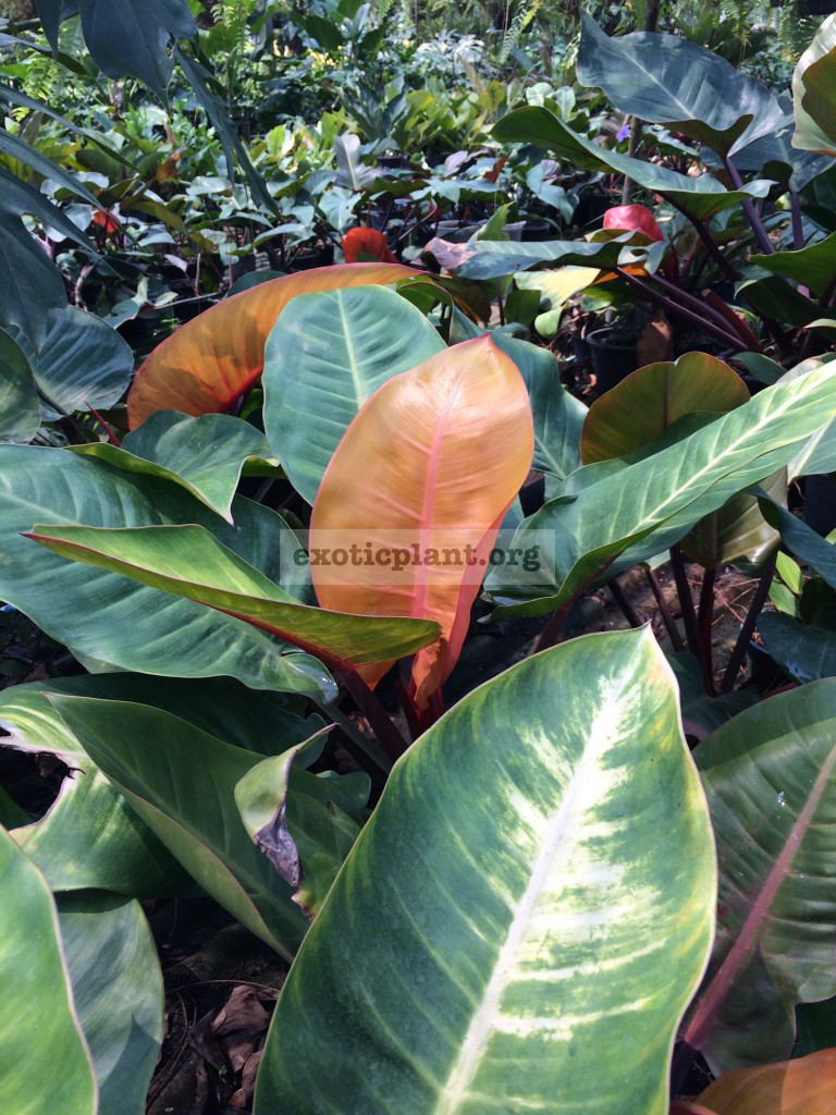 philodendron Super Sunlight