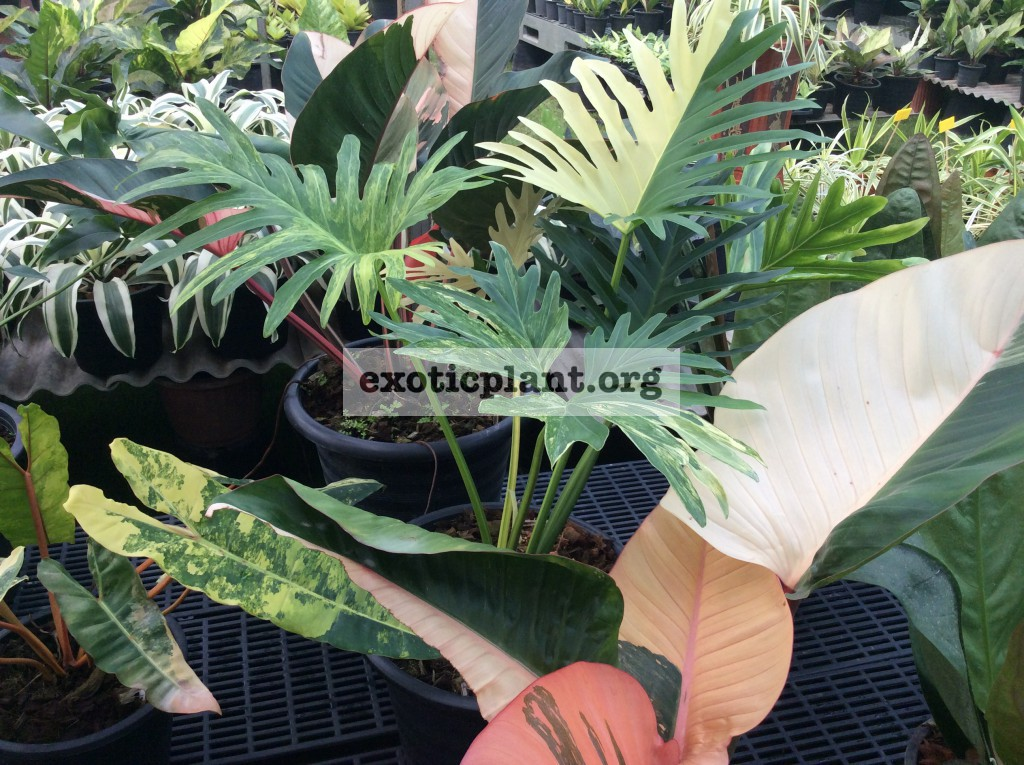 philodendron hybrid (R1) variegated