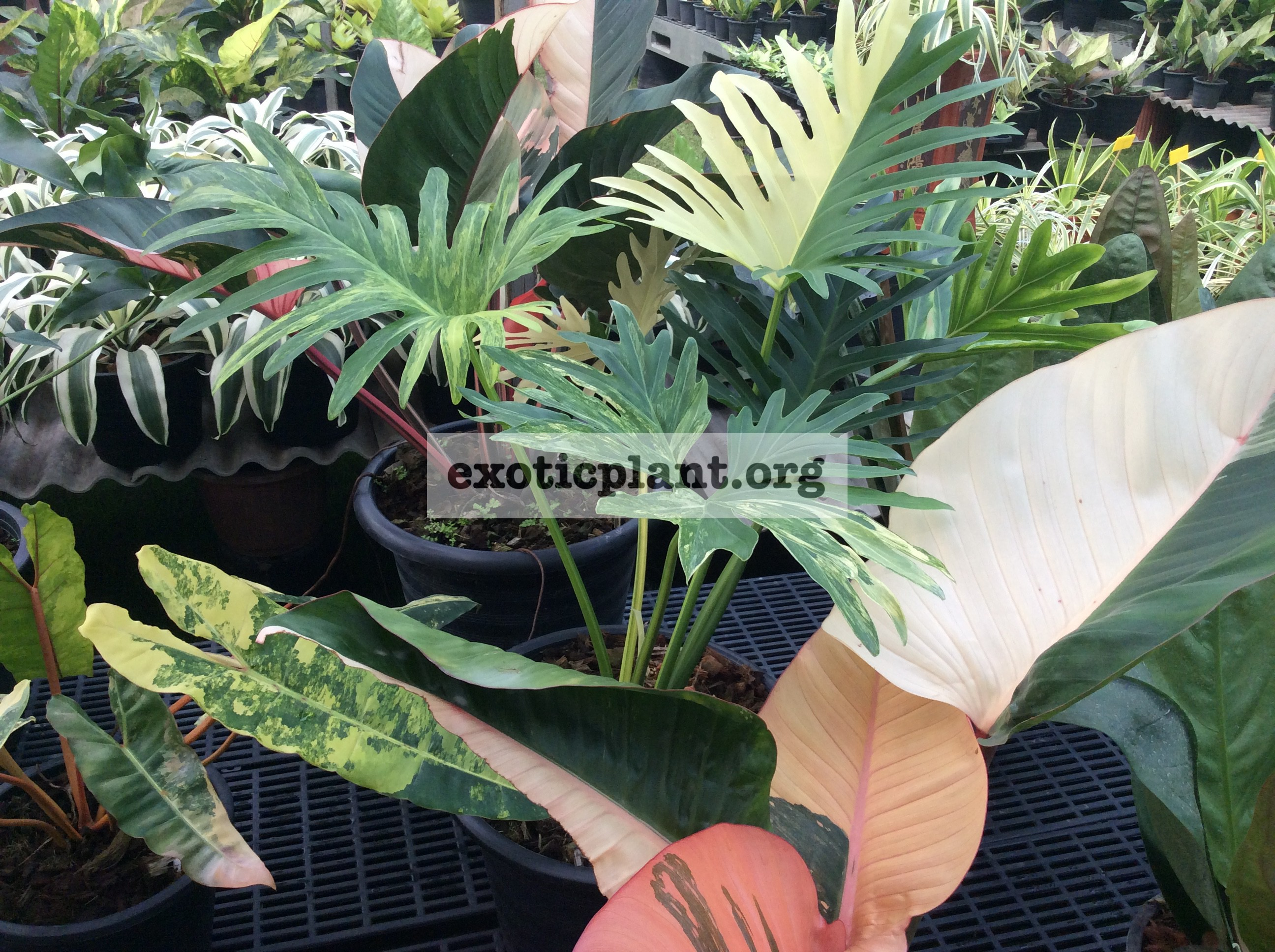 philodendron hybrid (R1) variegated 400-600