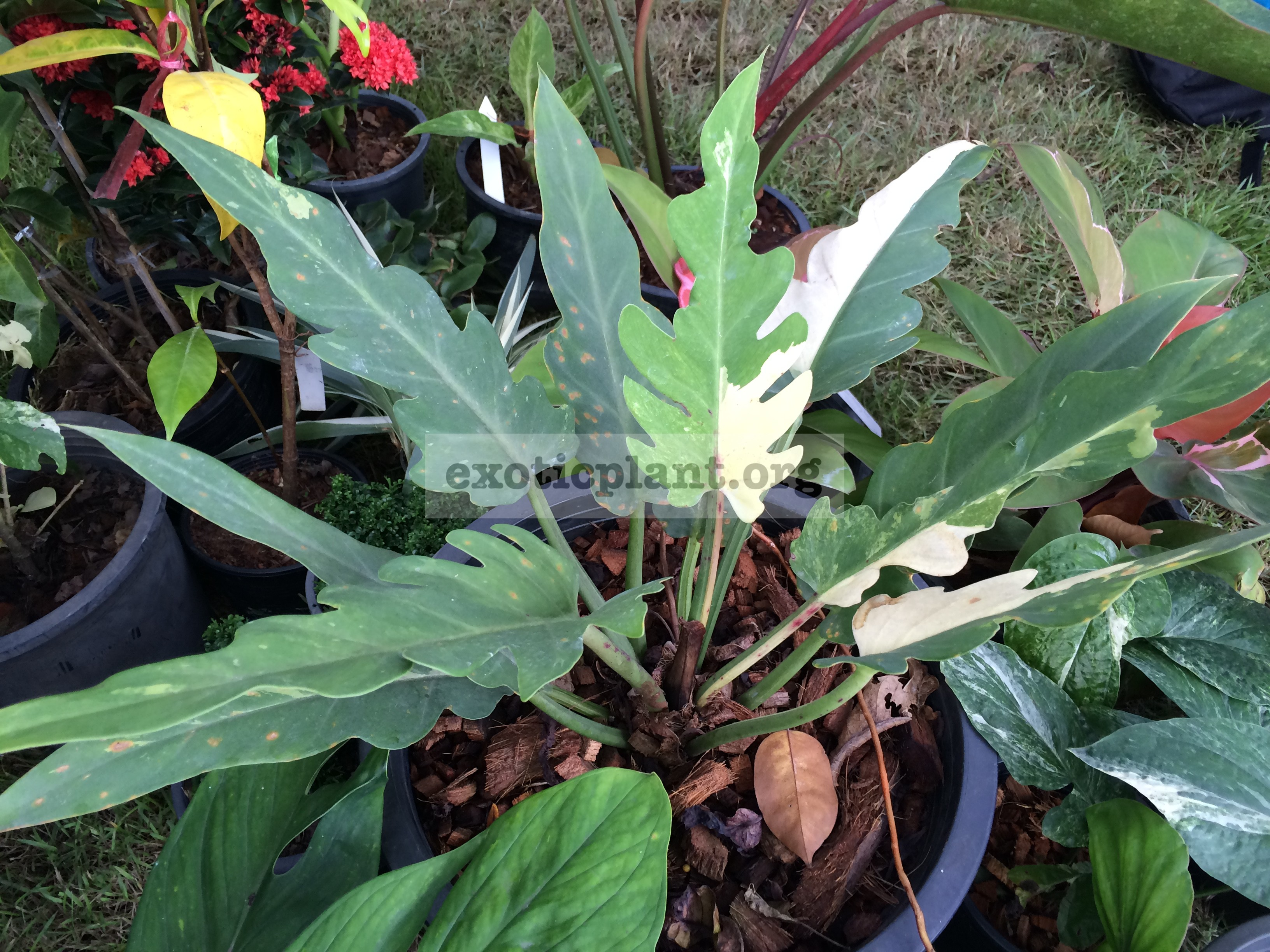 Philodendron pinnatifidum White variegated 250