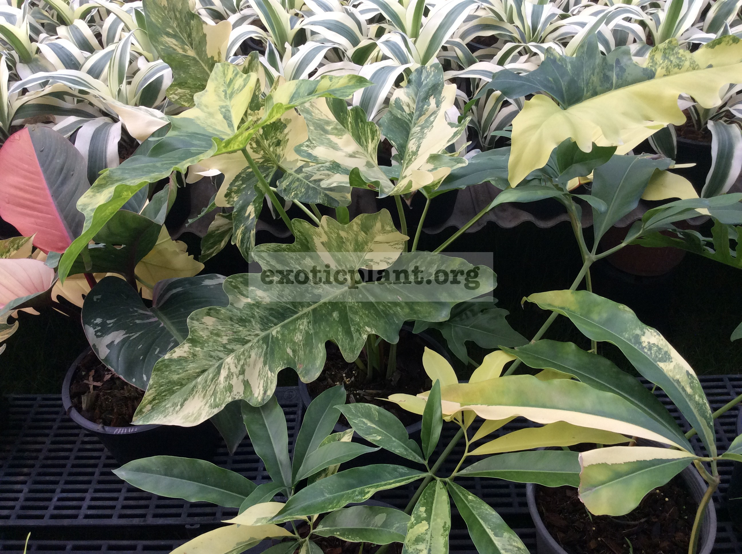philodendron williamsi variegated 450