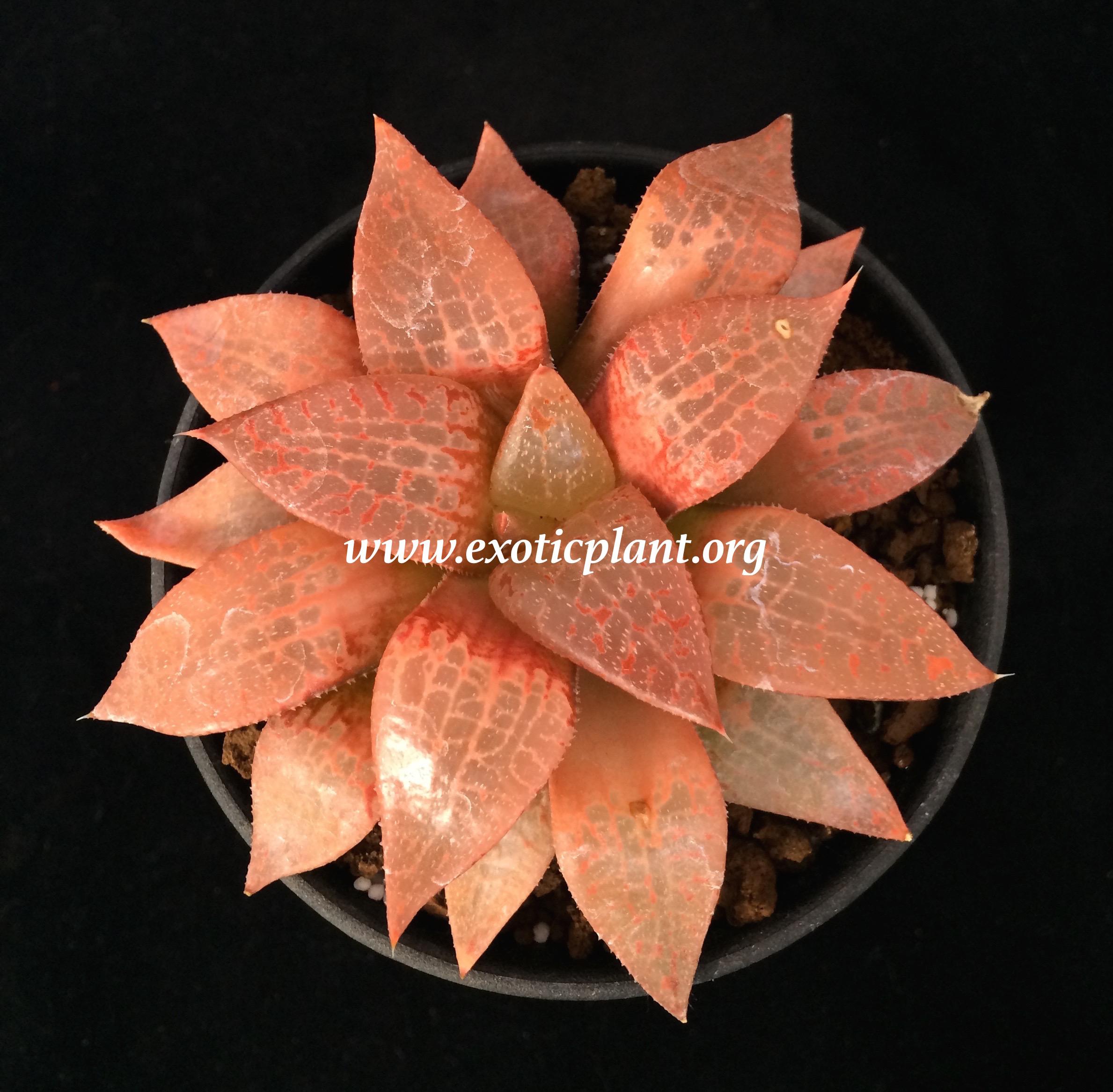 Collection Haworthias