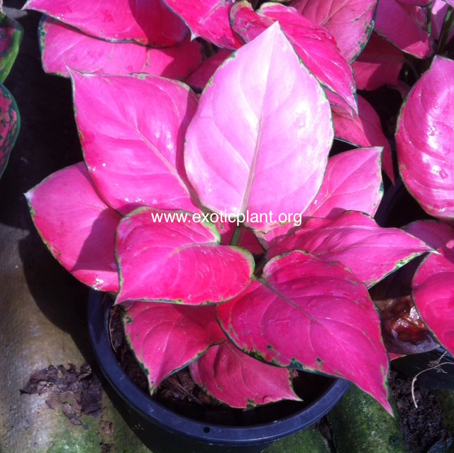 Aglaonema Unyamanee  Pure Red  25