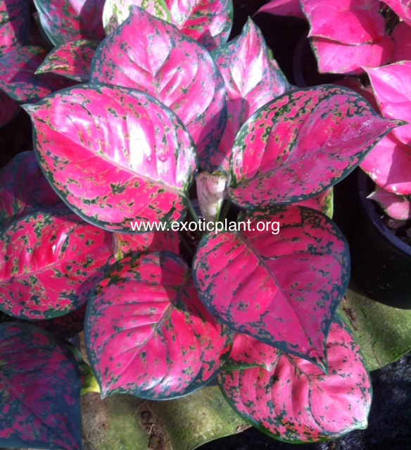 Aglaonema Unyamanee  Super Red  25