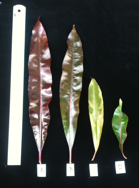 A=Cerbera odollam 'Super Red' B=Cerbera odollam (red leaf). C=Cerbera odollam (red leaf) variegated. D=Cerbera odollam (red leaf)(wavy form). — сравнение