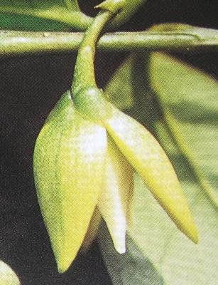 Anaxagorea javanica 23