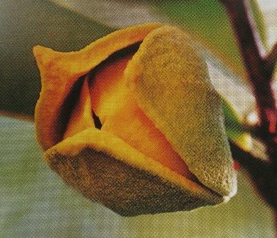 Annona muricata / Аннона муриката, Аннона колючая, Гуанабана, Сметанное яблоко, Сметанное дерево, Сауасеп   35