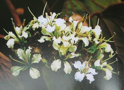 Bauhinia aureifolia 24