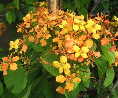 Bauhinia manandra (climbing) 30