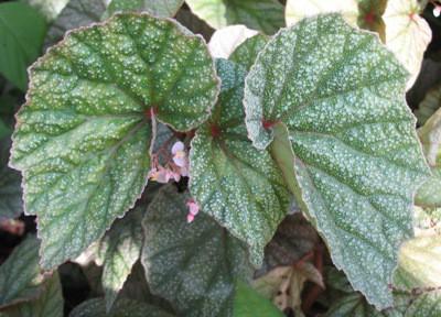 Begonia Margaritacea(T37) 12