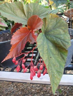 Begonia (T01) 12