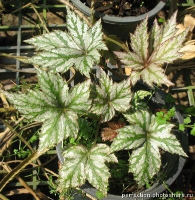 Begonia (T02) 12