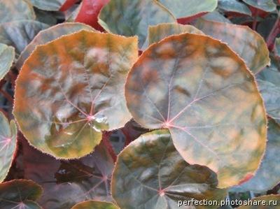 Begonia (T05) 12