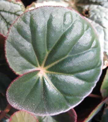 Begonia (T12) 12