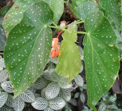 Begonia (T13) 12
