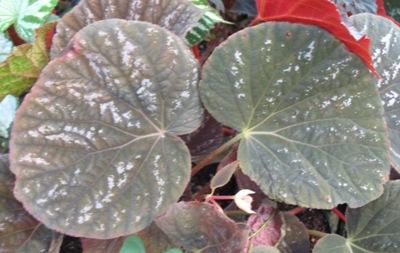 Begonia (T19) 12