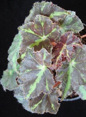 Begonia (T24) 12