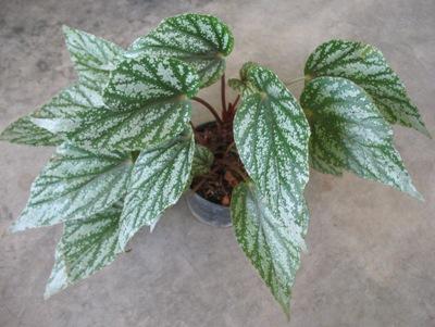 Begonia (T29) 12