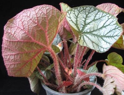 Begonia (T30) 12