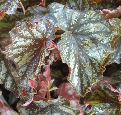 Begonia (T33) 12