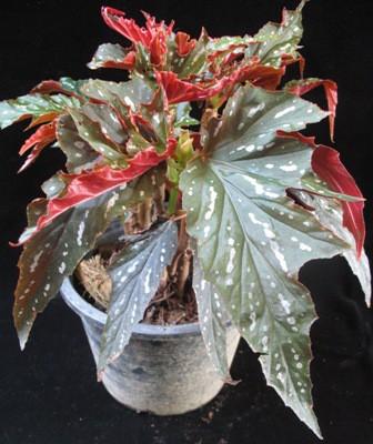 Begonia (T34) Sophie Cecile 12